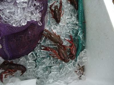 crayfish 1.jpg